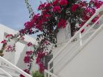 Neighbour's Bougainvillea