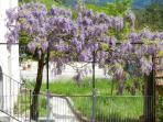 magnifique glycine en fleur dans le parc