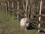Camilla the sheep