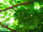 The grape vine provides much needed shade while you enjoy your morning coffee or lunch in the garden