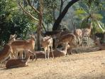 The resident impala herd