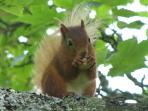 One of the cutest red squirrels, eating a peanut in a tree in the garden