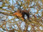 Another resident red squirrel exploring the trees