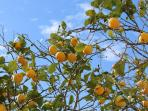 Limone secolare