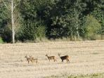 Chevreuils au sortir du village
