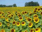 Nearby sunflower field