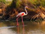 Flamingo at Vera Playa wetlands