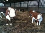 Our Hereford suckler herd