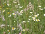 The traditionally managed hay meadow in June.