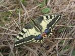 A swallowtail butterfly in the meadow in summer.