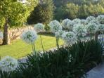 Agapanthus blossom
