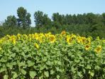 Sunflower fields in Spring