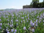 Irises in bloom in May
