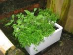 Help yourself to herbs growing by the back door