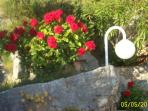 Red roses in May