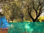 raccolta delle olive manuale sulla scala