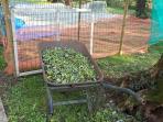 ecco le olive pronte pe il frantoio