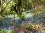 bluebell wood in the grounds