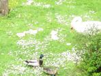 le moment du repas canards et cygnes au Gite Eure