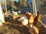 Hens and turkeys enjoy roaming part of the garden in the afternoon!