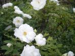 pivoine arbustive en juin