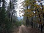 We walk between pines
