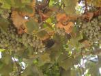 Muscat grapes; yum!!
