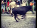 During the Uzès festival bulls round wild in the streets. Captured by Birgit Ebel in August 2013.