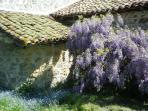 Bread Oven with wisteria