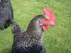 our hens and