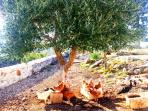 chickens under one of our olive tree