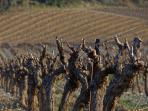The vineyards in winter