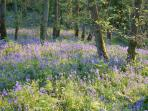 Springs Wood bluebells in May, only a short walk from the cottage