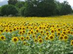 Sunflowers are all around the region. These were in the field over the hedge a couple of years ago.