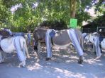 The pyjama donkeys on the Ile de Re. A favourite as you leave the large St Martin de  Re car park.