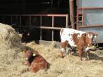 calves at Hele Barton