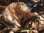 Hedgehog under one of the bushes: can I pass here the winter?