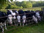 Inquisitive bullocks in our neighbours field.