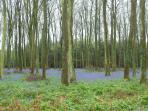 Wander through local bluebell woods in the spring!