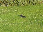 A baby black bunny. We've noticed that they are less timid & don't run away as quickly