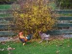 Ken and Bluebell resident chickens