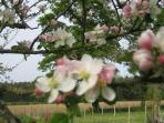 Apple blossom orchard