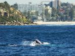 Whale watching off Manly Beach