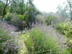 small pond with abundance of lavender