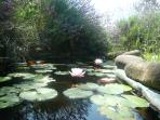 small pond with nymphea