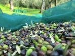 November, come to pick olives with us and make your own extra virgin olive oil !!!!