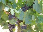 Grapes on the local vines