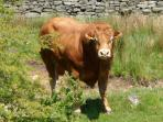 Henry the Bull