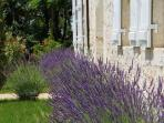 summer lavender at the front of the house