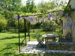 Wisteria flowers falling from pergola in April